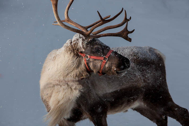 our-reindeer-18